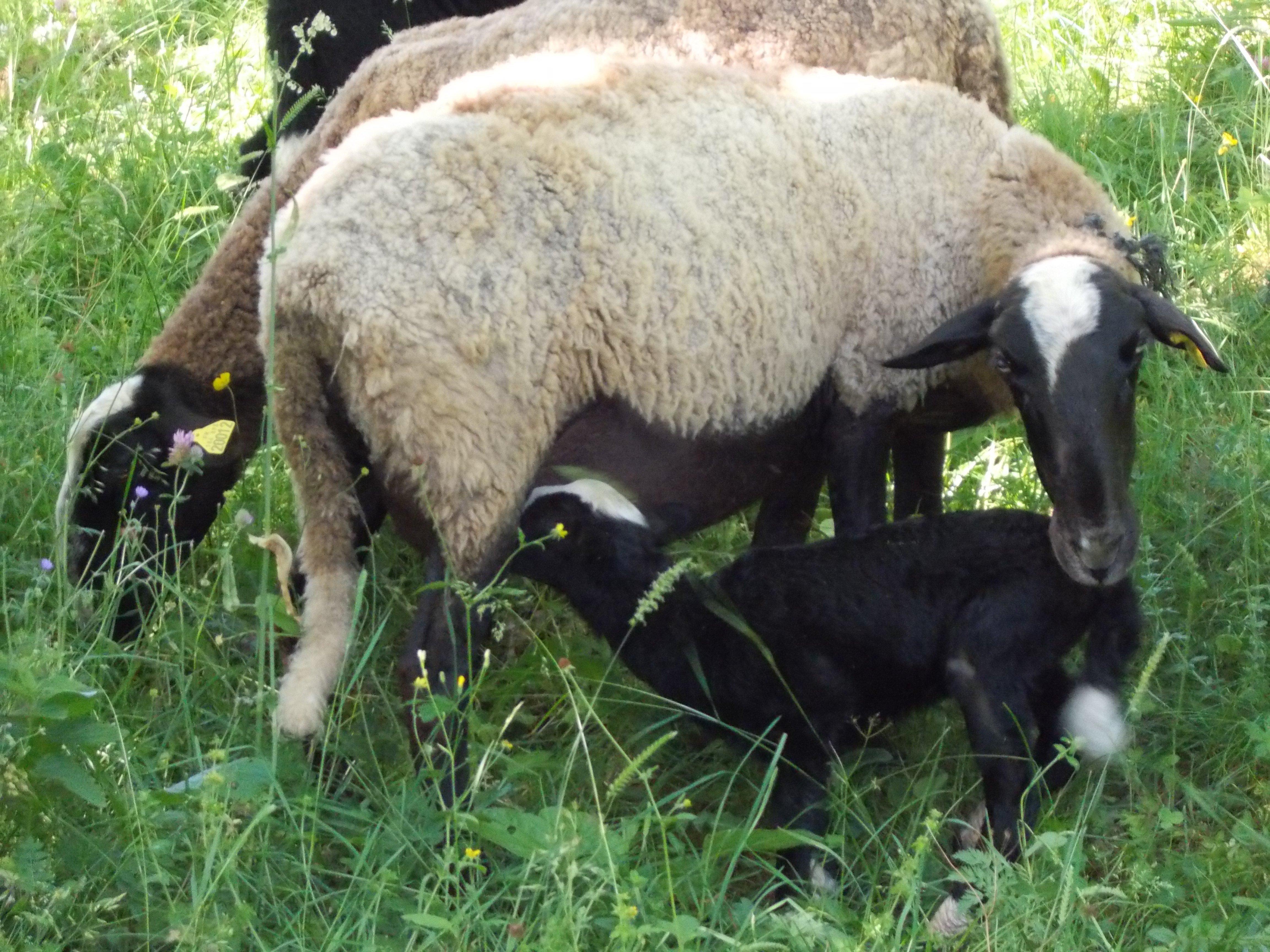 La laine de nos moutons pr sentation de l activit laine for L univers de la laine